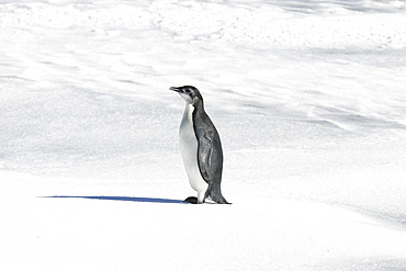 Emperor penguin (Aptenodytes forsteri) from a recently discovered colony on Snowy Hill in the Weddell Sea. This may be the northernmost Emperor penguin colony in Antarctica.