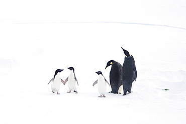 Adult emperor penguin pair (Aptenodytes forsteri) resting on ice floe with three Adelie penguins (Pygoscelis adeliae), Antarctica