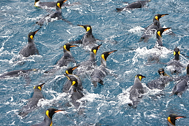 Adult king penguins (Aptenodytes patagonicus) swimming in the clear waters of Right Whale Bay on South Georgia Island, South Atlantic Ocean.