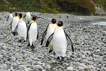 King penguins (Aptenodytes patagonicus)  walking on the beach near colony of nesting animals  numbering about 7,000 nesting pairs at Fortuna Bay on South Georgia Island, South Atlantic Ocean.