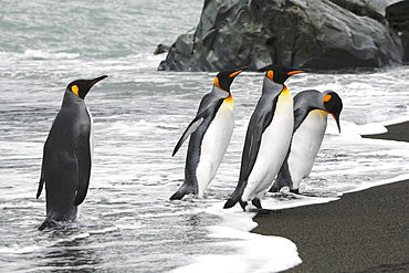 King penguins (Aptenodytes patagonicus) returning from feeding at the colony on Fortuna Bay, South Georgia Island. South Atlantic Ocean.near colony of nesting animals