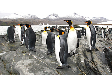 King penguin (Aptenodytes patagonicus) colony of nesting animals  numbering around 7,000 nesting pairs in Fortuna Bay on South Georgia Island, South Atlantic Ocean.