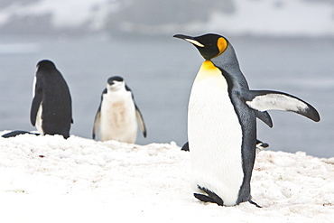 Lone adult king penguin (Aptenodytes patagonicus) among colonies of both gentoo and chinstrap penguins on Barrentos Island, Aitcho Island Group, South Shetland Islands, Antarctica