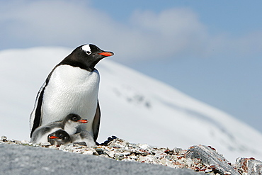 Gentoo penguin (Pygoscelis papua) parent with two downy chicks on Pleneau Island, near the Antarctic Peninsula.