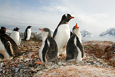 Gentoo penguin (Pygoscelis papua) parent with downy chicks on Petermann Island, near the Antarctic Peninsula.