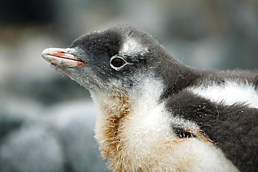 Gentoo penguin (Pygoscelis papua) downy chick on Jougla Point, Wiencke Island, near the Antarctic Peninsula.