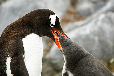 Gentoo penguin (Pygoscelis papua) parent feeding downy chick on Jougla Point, Wiencke Island, near the Antarctic Peninsula.