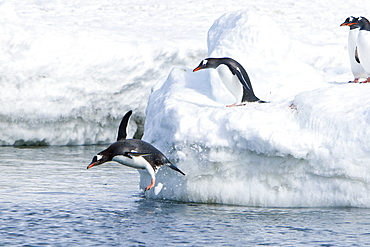 Adult gentoo penguins (Pygoscelis papua) jumping from an ice covered island at Mikkelsen Point on Trinity Island in the northern portion of the Gerlache Strait, Antarctica. Southern Ocean