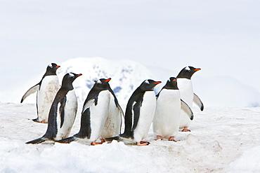 Adult gentoo penguins (Pygoscelis papua) on an ice covered island at Mikkelsen Point on Trinity Island, Gerlache Strait, Antarctica