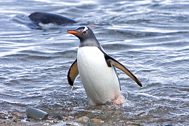 Adult gentoo penguin (Pygoscelis papua) swimming in to the beach from sea in Neko Harbour in Andvord Bay, Antarctica