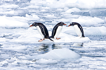 Adult gentoo penguins (Pygoscelis papua) swimming and playing on small growlers in Neko Harbour in Andvord Bay, Antarctica