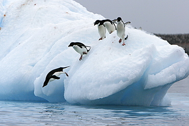 Adult Adelie penguins (Pygoscelis adeliae) lining up to leap off of an iceberg at Paulet Island in the Weddell Sea.