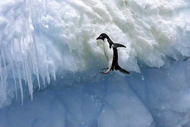 Adult Adelie penguins (Pygoscelis adeliae) falling off of an iceberg in a snowstorm at Paulet Island in the Weddell Sea. Restricted Resolution - Please contact us.