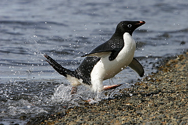 Adult Adelie penguin (Pygoscelis adeliae) returning from the sea to feed its chick on Paulet Island on the Northeast side of the Antarctic Peninsula.