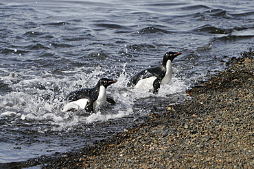 Adult Adelie penguin (Pygoscelis adeliae) pair returning from the sea to feed their chicks on Paulet Island on the Northeast side of the Antarctic Peninsula.