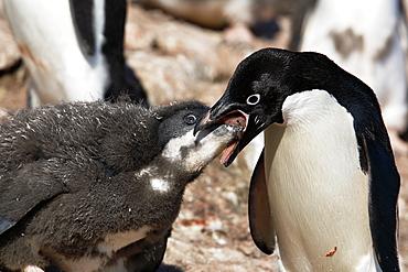 Adult Adelie penguin (Pygoscelis adeliae) feeding chick a regurgitated meal on Paulet Island on the Northeast side of the Antarctic Peninsula.