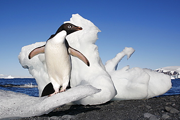 Adult Adelie penguin (Pygoscelis adeliae) standing on ice on Paulet Island on the Northeast side of the Antarctic Peninsula.