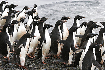 Adelie penguins (Pygoscelis adeliae) marching down the beach and preparing to enter the ocean as a tight group (for safety) on Paulet Island, Antarctica