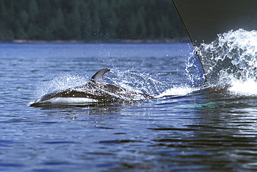 Adult Pacific White-sided Dolphin (Lagenorhynchus obliquidens) bow-riding in Johnstone Strait, British Columbia, Canada.