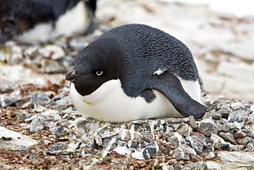 Adult Adelie penguin (Pygoscelis adeliae) laying on an egg on breeding colony on Petermann Island, Antarctica