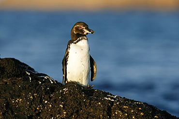 Adult Galapagos penguin (Spheniscus mendiculus) in the Galapagos Island Group, Ecuador. This is the only species of penguin in the northern hemisphere and is endemic to the Galapagos only.