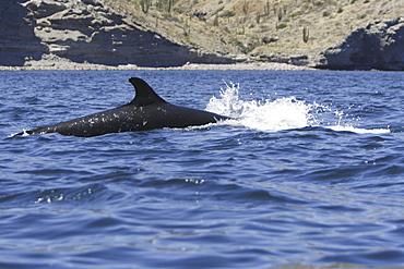 False-killer whale (Pseudorca crassidens) power-lunging off Isla San Esteban in the midriff region of the Gulf of California (Sea of Cortez), Mexico