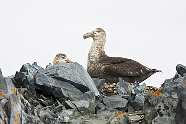 Southern Giant Petrel (Macronectes giganteus) breeding pair in Arthur Harbor near Palmer Station close to the Antarctic Peninsula.