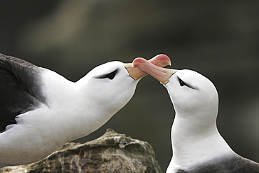 Black-browed Albatross (Thalassarche melanophrys) mating ritual in the Falkland Islands.