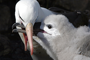 Adult black-browed albatross (Thalassarche melanophrys) feeding downy chick at Devil's Nose on New Island in the Falkland Island Group, Falklands.