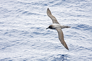 Adult light-mantled sooty albatross (Phoebetria palpebrata) on the wing in Drake Passage between the tip of South America and the Antarctic peninsula, southern ocean.