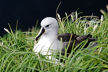 Adult and chick Grey-headed Albatross (Thalassarche chrysostoma) in nesting grounds in Elsehul Bay, South Georgia Island.