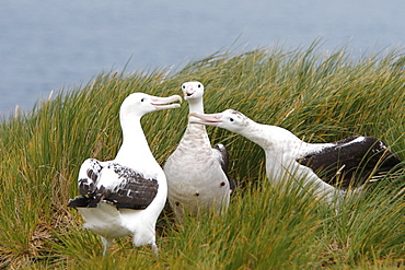 Adult wandering albatross (Diomedea exulans) exhibiting courtship behavior on Prion Island, Southern Atlantic Ocean
