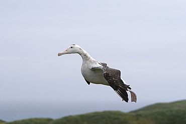 Adult wandering albatross (Diomedea exulans) landing on Prion Island, Bay of Isles, South Georgia Island, Southern Atlantic Ocean