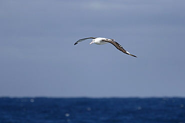 Adult wandering albatross (Diomedea exulans) in flight near Prion Island, Bay of Isles, Southern Atlantic Ocean