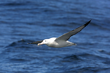 An adult wandering albatross (Diomedea exulans) on the wing in the Drake Passage of the Southern Ocean. This is one of the largest albatross in the world, with a wingspan in excess of 3 meters.
