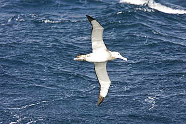 Wandering albatross (Diomedea exulans) on the wing in the Drake Passage between the tip of South America and the Antarctic Peninsula, southern ocean.