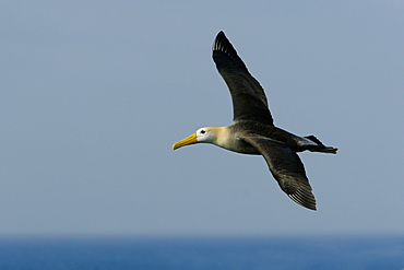 Adult waved albatross (Diomedea irrorata) in flight on Espanola Island in the Galapagos Island Group, Ecuador. Pacific Ocean. This species of albatross is endemic to the Galapagos Islands.