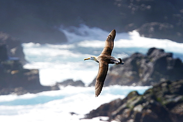 Adult waved albatross (Diomedea irrorata) in flight on Espanola Island in the Galapagos Island Group, Ecuador. Pacific Ocean. This species of albatross is endemic to the Galapagos Islands.  (RR)