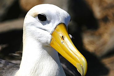 Adult waved albatross (Diomedea irrorata) head detail on Espanola Island in the Galapagos Island Group, Ecuador. Pacific Ocean. This species of albatross is endemic to the Galapagos Islands.