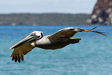 Adult brown pelican (Pelecanus occidentalis) in flight on Bartolome Island in the Galapagos Island Group, Ecuador. Pacific Ocean.