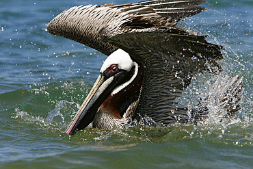 Adult brown pelican (Pelecanus occidentalis) in breeding plumage bathing in seawater on Bartolome Island in the Galapagos Island Group, Ecuador. Pacific Ocean.