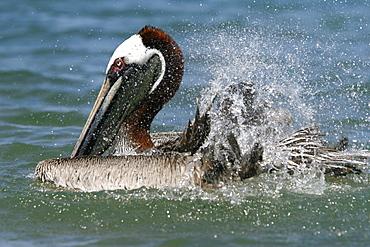 Adult brown pelican (Pelecanus occidentalis) in breeding plumage bathing in the ocean near Bartolome Island in the Galapagos Island Group, Ecuador. Pacific Ocean.