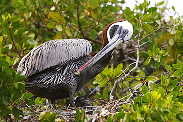 Adult brown pelican (Pelecanus occidentalis) in nest with two chicks on Bartolome Island in the Galapagos Island Group, Ecuador. Pacific Ocean.   (RR)