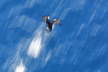 Antarctic Shag (Phalacrocorax (atriceps) bransfieldensis) taking flight near Petermann Island near the Antarctic Peninsula