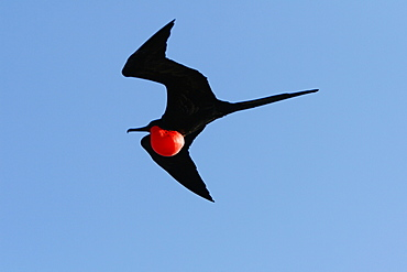 Male great frigate bird (Fregata minor) in flight showing expanded gular pouch near nesting and breeding site on North Seymour Island in the Galapagos Island Group, Ecuador. Pacific Ocean.