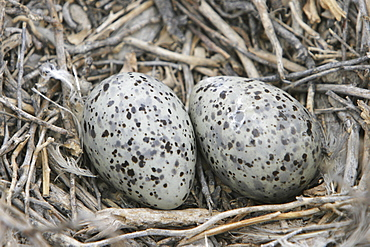 Heermann's Gull (Larus heermanni) eggs laid on their breeding grounds on Isla Rasa in the middle Gulf of California (Sea of Cortez), Mexico