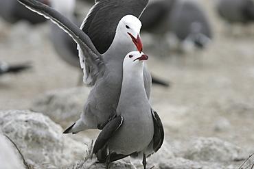 Heermann's Gull (Larus heermanni) mating ritual on their breeding grounds on Isla Rasa in the middle Gulf of California (Sea of Cortez), Mexico