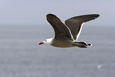 Adult Heermann's Gull (Larus heermanni) in flight on their breeding grounds on Isla Rasa in the middle Gulf of California (Sea of Cortez), Mexico