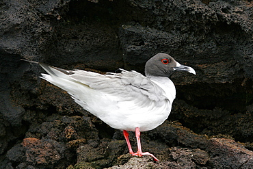 Swallow-tailed gull (Creagrus furcatus) in the Galapagos Island Group, Ecuador