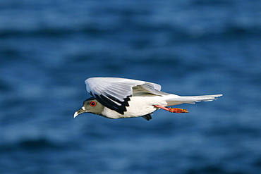Swallow-tailed gull (Creagrus furcatus) in flight in the Galapagos Island Group, Ecuador